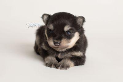 puppy141 week3 BowTiePomsky.com Bowtie Pomsky Puppy For Sale Husky Pomeranian Mini Dog Spokane WA Breeder Blue Eyes Pomskies Celebrity Puppy web-logo9