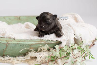 puppy142 week1 BowTiePomsky.com Bowtie Pomsky Puppy For Sale Husky Pomeranian Mini Dog Spokane WA Breeder Blue Eyes Pomskies Celebrity Puppy web4