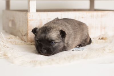 puppy142 week3 BowTiePomsky.com Bowtie Pomsky Puppy For Sale Husky Pomeranian Mini Dog Spokane WA Breeder Blue Eyes Pomskies Celebrity Puppy web-logo7