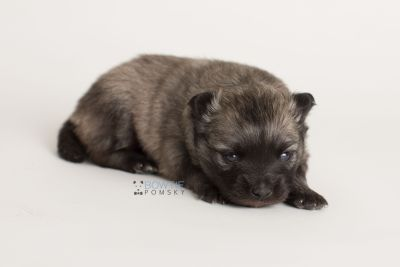 puppy142 week3 BowTiePomsky.com Bowtie Pomsky Puppy For Sale Husky Pomeranian Mini Dog Spokane WA Breeder Blue Eyes Pomskies Celebrity Puppy web-logo8
