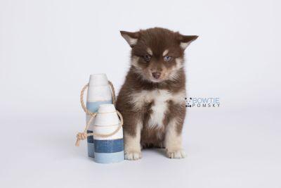 puppy129 week7 BowTiePomsky.com Bowtie Pomsky Puppy For Sale Husky Pomeranian Mini Dog Spokane WA Breeder Blue Eyes Pomskies Celebrity Puppy web-logo2