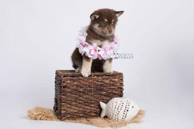 puppy129 week7 BowTiePomsky.com Bowtie Pomsky Puppy For Sale Husky Pomeranian Mini Dog Spokane WA Breeder Blue Eyes Pomskies Celebrity Puppy web-logo5