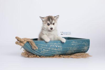 puppy130 week7 BowTiePomsky.com Bowtie Pomsky Puppy For Sale Husky Pomeranian Mini Dog Spokane WA Breeder Blue Eyes Pomskies Celebrity Puppy web-logo1