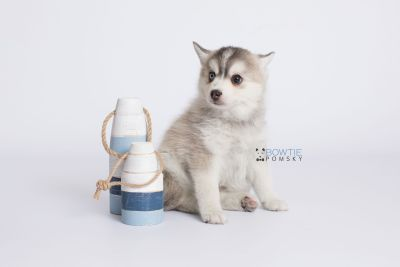 puppy130 week7 BowTiePomsky.com Bowtie Pomsky Puppy For Sale Husky Pomeranian Mini Dog Spokane WA Breeder Blue Eyes Pomskies Celebrity Puppy web-logo2