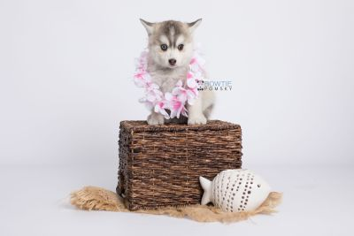 puppy130 week7 BowTiePomsky.com Bowtie Pomsky Puppy For Sale Husky Pomeranian Mini Dog Spokane WA Breeder Blue Eyes Pomskies Celebrity Puppy web-logo5