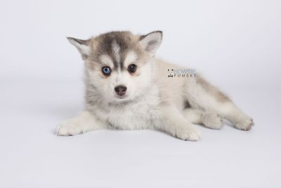 puppy130 week7 BowTiePomsky.com Bowtie Pomsky Puppy For Sale Husky Pomeranian Mini Dog Spokane WA Breeder Blue Eyes Pomskies Celebrity Puppy web-logo6