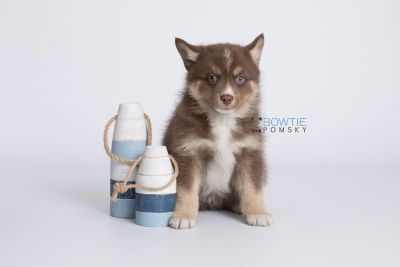 puppy131 week7 BowTiePomsky.com Bowtie Pomsky Puppy For Sale Husky Pomeranian Mini Dog Spokane WA Breeder Blue Eyes Pomskies Celebrity Puppy web-logo2
