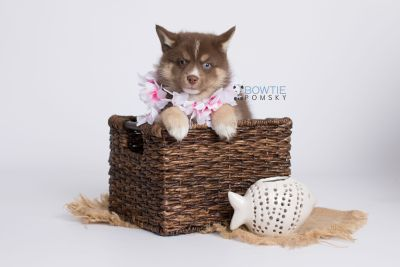 puppy131 week7 BowTiePomsky.com Bowtie Pomsky Puppy For Sale Husky Pomeranian Mini Dog Spokane WA Breeder Blue Eyes Pomskies Celebrity Puppy web-logo6