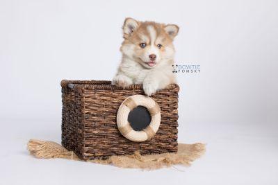 puppy132 week7 BowTiePomsky.com Bowtie Pomsky Puppy For Sale Husky Pomeranian Mini Dog Spokane WA Breeder Blue Eyes Pomskies Celebrity Puppy web-logo3
