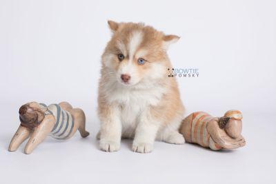 puppy132 week7 BowTiePomsky.com Bowtie Pomsky Puppy For Sale Husky Pomeranian Mini Dog Spokane WA Breeder Blue Eyes Pomskies Celebrity Puppy web-logo4