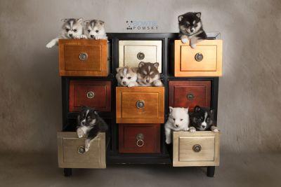 puppy133-140 week5 BowTiePomsky.com Bowtie Pomsky Puppy For Sale Husky Pomeranian Mini Dog Spokane WA Breeder Blue Eyes Pomskies Celebrity Puppy web-logo
