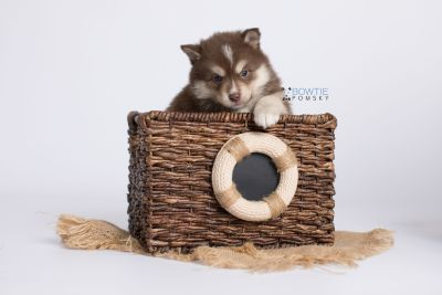 puppy134 week5 BowTiePomsky.com Bowtie Pomsky Puppy For Sale Husky Pomeranian Mini Dog Spokane WA Breeder Blue Eyes Pomskies Celebrity Puppy web-logo3