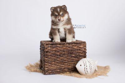 puppy134 week5 BowTiePomsky.com Bowtie Pomsky Puppy For Sale Husky Pomeranian Mini Dog Spokane WA Breeder Blue Eyes Pomskies Celebrity Puppy web-logo5