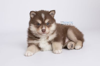 puppy134 week5 BowTiePomsky.com Bowtie Pomsky Puppy For Sale Husky Pomeranian Mini Dog Spokane WA Breeder Blue Eyes Pomskies Celebrity Puppy web-logo6