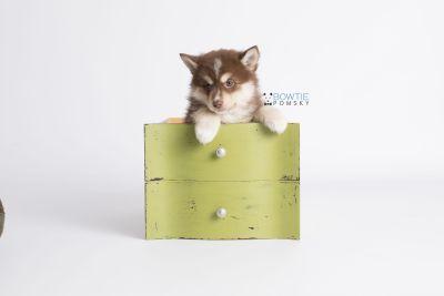 puppy134 week7 BowTiePomsky.com Bowtie Pomsky Puppy For Sale Husky Pomeranian Mini Dog Spokane WA Breeder Blue Eyes Pomskies Celebrity Puppy web2