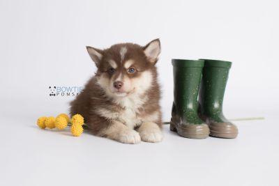 puppy134 week7 BowTiePomsky.com Bowtie Pomsky Puppy For Sale Husky Pomeranian Mini Dog Spokane WA Breeder Blue Eyes Pomskies Celebrity Puppy web6