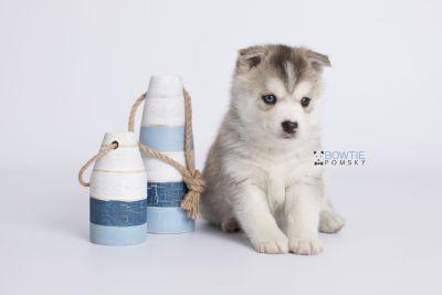 puppy135 week5 BowTiePomsky.com Bowtie Pomsky Puppy For Sale Husky Pomeranian Mini Dog Spokane WA Breeder Blue Eyes Pomskies Celebrity Puppy web-logo3
