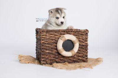 puppy135 week5 BowTiePomsky.com Bowtie Pomsky Puppy For Sale Husky Pomeranian Mini Dog Spokane WA Breeder Blue Eyes Pomskies Celebrity Puppy web-logo4