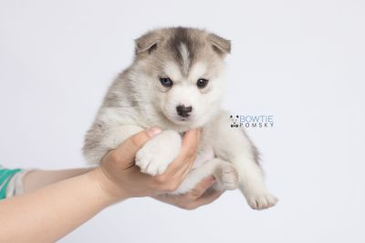 puppy135 week5 BowTiePomsky.com Bowtie Pomsky Puppy For Sale Husky Pomeranian Mini Dog Spokane WA Breeder Blue Eyes Pomskies Celebrity Puppy web-logo8