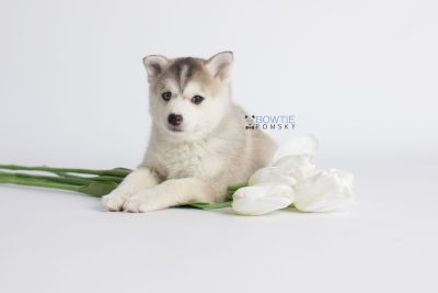 puppy135 week7 BowTiePomsky.com Bowtie Pomsky Puppy For Sale Husky Pomeranian Mini Dog Spokane WA Breeder Blue Eyes Pomskies Celebrity Puppy web3