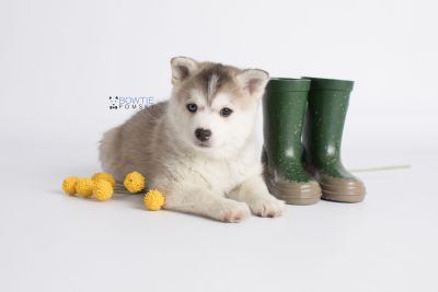 puppy135 week7 BowTiePomsky.com Bowtie Pomsky Puppy For Sale Husky Pomeranian Mini Dog Spokane WA Breeder Blue Eyes Pomskies Celebrity Puppy web6