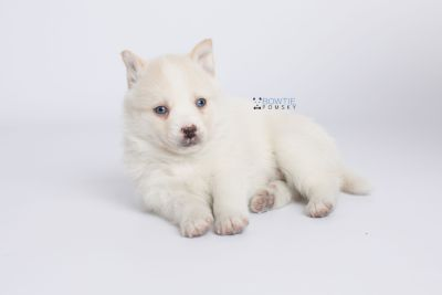 puppy136 week5 BowTiePomsky.com Bowtie Pomsky Puppy For Sale Husky Pomeranian Mini Dog Spokane WA Breeder Blue Eyes Pomskies Celebrity Puppy web-logo6