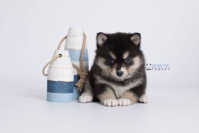 puppy137 week5 BowTiePomsky.com Bowtie Pomsky Puppy For Sale Husky Pomeranian Mini Dog Spokane WA Breeder Blue Eyes Pomskies Celebrity Puppy web-logo2