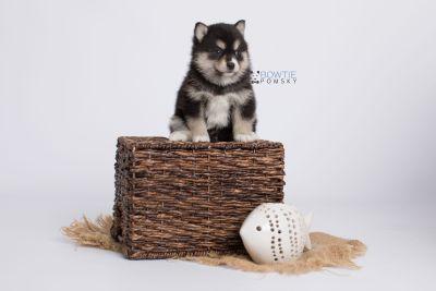 puppy137 week5 BowTiePomsky.com Bowtie Pomsky Puppy For Sale Husky Pomeranian Mini Dog Spokane WA Breeder Blue Eyes Pomskies Celebrity Puppy web-logo5