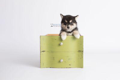 puppy137 week7 BowTiePomsky.com Bowtie Pomsky Puppy For Sale Husky Pomeranian Mini Dog Spokane WA Breeder Blue Eyes Pomskies Celebrity Puppy web3