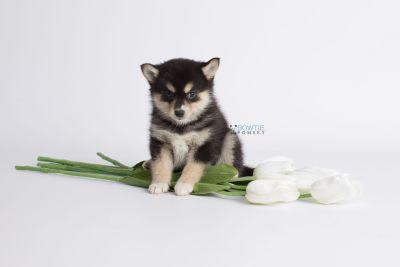 puppy137 week7 BowTiePomsky.com Bowtie Pomsky Puppy For Sale Husky Pomeranian Mini Dog Spokane WA Breeder Blue Eyes Pomskies Celebrity Puppy web4