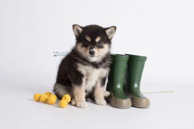 puppy137 week7 BowTiePomsky.com Bowtie Pomsky Puppy For Sale Husky Pomeranian Mini Dog Spokane WA Breeder Blue Eyes Pomskies Celebrity Puppy web6