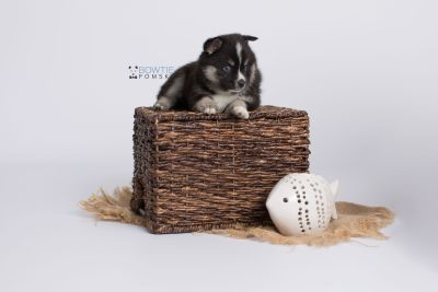 puppy138 week5 BowTiePomsky.com Bowtie Pomsky Puppy For Sale Husky Pomeranian Mini Dog Spokane WA Breeder Blue Eyes Pomskies Celebrity Puppy web-logo6