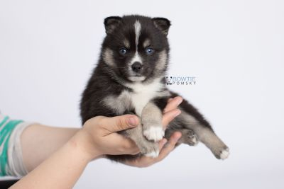 puppy138 week5 BowTiePomsky.com Bowtie Pomsky Puppy For Sale Husky Pomeranian Mini Dog Spokane WA Breeder Blue Eyes Pomskies Celebrity Puppy web-logo8