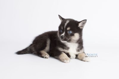 puppy138 week7 BowTiePomsky.com Bowtie Pomsky Puppy For Sale Husky Pomeranian Mini Dog Spokane WA Breeder Blue Eyes Pomskies Celebrity Puppy web10