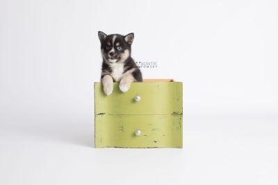 puppy138 week7 BowTiePomsky.com Bowtie Pomsky Puppy For Sale Husky Pomeranian Mini Dog Spokane WA Breeder Blue Eyes Pomskies Celebrity Puppy web2