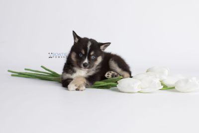 puppy138 week7 BowTiePomsky.com Bowtie Pomsky Puppy For Sale Husky Pomeranian Mini Dog Spokane WA Breeder Blue Eyes Pomskies Celebrity Puppy web4