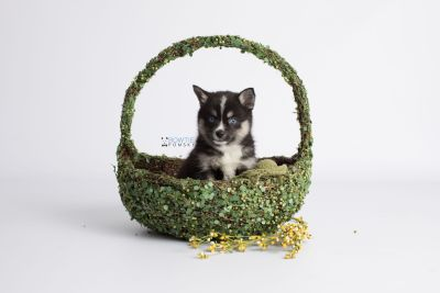 puppy138 week7 BowTiePomsky.com Bowtie Pomsky Puppy For Sale Husky Pomeranian Mini Dog Spokane WA Breeder Blue Eyes Pomskies Celebrity Puppy web6
