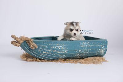 puppy139 week5 BowTiePomsky.com Bowtie Pomsky Puppy For Sale Husky Pomeranian Mini Dog Spokane WA Breeder Blue Eyes Pomskies Celebrity Puppy web-logo1