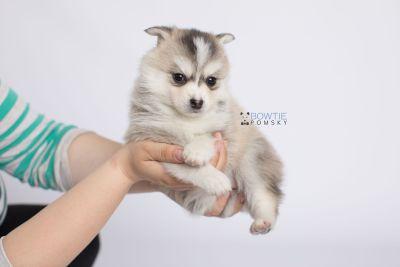 puppy139 week5 BowTiePomsky.com Bowtie Pomsky Puppy For Sale Husky Pomeranian Mini Dog Spokane WA Breeder Blue Eyes Pomskies Celebrity Puppy web-logo7