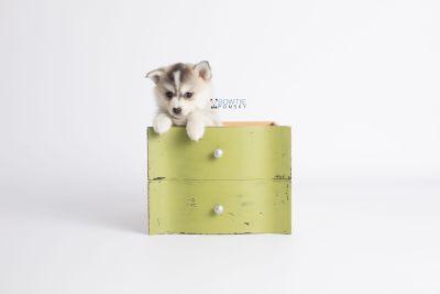 puppy139 week7 BowTiePomsky.com Bowtie Pomsky Puppy For Sale Husky Pomeranian Mini Dog Spokane WA Breeder Blue Eyes Pomskies Celebrity Puppy web3