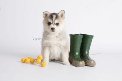 puppy139 week7 BowTiePomsky.com Bowtie Pomsky Puppy For Sale Husky Pomeranian Mini Dog Spokane WA Breeder Blue Eyes Pomskies Celebrity Puppy web6