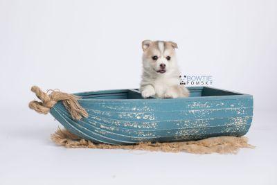 puppy140 week5 BowTiePomsky.com Bowtie Pomsky Puppy For Sale Husky Pomeranian Mini Dog Spokane WA Breeder Blue Eyes Pomskies Celebrity Puppy web-logo1