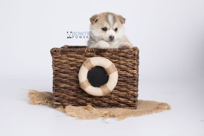 puppy140 week5 BowTiePomsky.com Bowtie Pomsky Puppy For Sale Husky Pomeranian Mini Dog Spokane WA Breeder Blue Eyes Pomskies Celebrity Puppy web-logo4