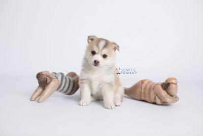 puppy140 week5 BowTiePomsky.com Bowtie Pomsky Puppy For Sale Husky Pomeranian Mini Dog Spokane WA Breeder Blue Eyes Pomskies Celebrity Puppy web-logo5