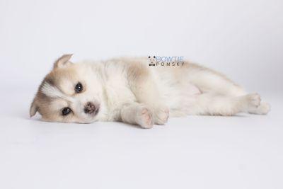 puppy140 week5 BowTiePomsky.com Bowtie Pomsky Puppy For Sale Husky Pomeranian Mini Dog Spokane WA Breeder Blue Eyes Pomskies Celebrity Puppy web-logo7