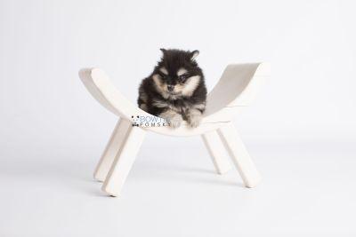 puppy141 week7 BowTiePomsky.com Bowtie Pomsky Puppy For Sale Husky Pomeranian Mini Dog Spokane WA Breeder Blue Eyes Pomskies Celebrity Puppy web1