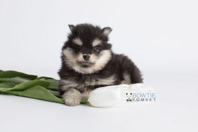 puppy141 week7 BowTiePomsky.com Bowtie Pomsky Puppy For Sale Husky Pomeranian Mini Dog Spokane WA Breeder Blue Eyes Pomskies Celebrity Puppy web4