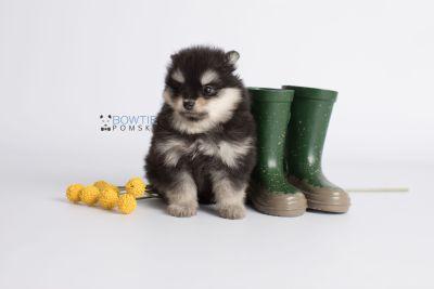 puppy141 week7 BowTiePomsky.com Bowtie Pomsky Puppy For Sale Husky Pomeranian Mini Dog Spokane WA Breeder Blue Eyes Pomskies Celebrity Puppy web6