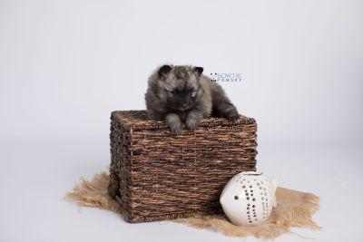 puppy142 week5 BowTiePomsky.com Bowtie Pomsky Puppy For Sale Husky Pomeranian Mini Dog Spokane WA Breeder Blue Eyes Pomskies Celebrity Puppy web-logo5
