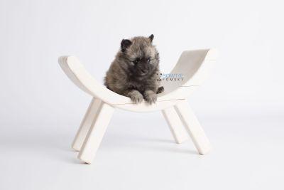 puppy142 week7 BowTiePomsky.com Bowtie Pomsky Puppy For Sale Husky Pomeranian Mini Dog Spokane WA Breeder Blue Eyes Pomskies Celebrity Puppy web1